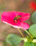 IMPATIENS BALSAMINA flower and bee