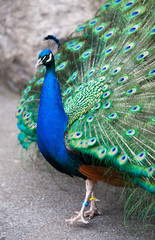 Peacock from Side