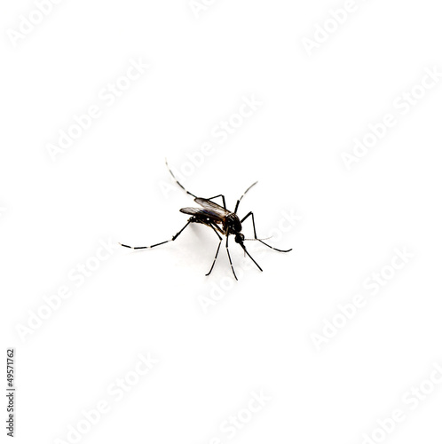 mosquito on white background