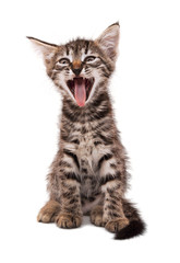 gray striped kitten with shock grimace