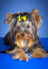 Young Dog Breed Yorkshire Terrier