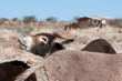 Braying donkey in a village in Namibia