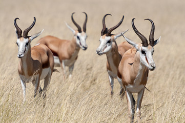 A group of Springboks in the Etosha national park in Namibia