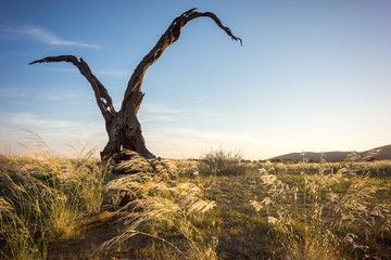 Dry tree at sunset close to the Namib desert in Namibia