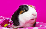 cute guinea pig with and flower - pink background