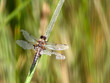 Dragonfly on reeds stem
