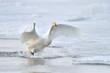 Whooper Swan landing from flight.
