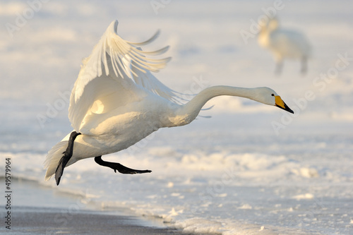 Whooper Swan landing from flight.