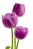 Fototapety Drei lila Tulpen