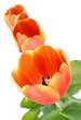 Aufgeblühte Tulpen in einer Reihe