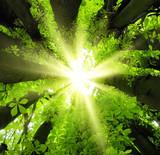 Fototapeta las - słońce - Drzewo