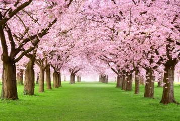 Fototapeta do salonu aleja kwitnące drzewa