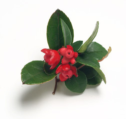 Gaultheria procumbens Big Berry on white background