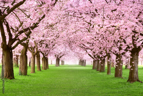 Fotobehang Kersen Gartenanlage in voller Blütenpracht
