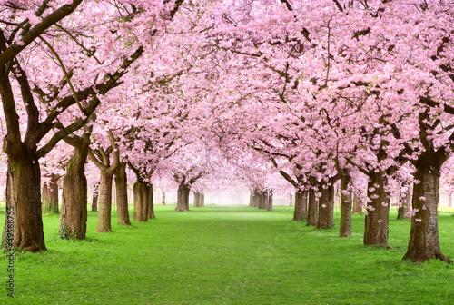 Foto op Plexiglas Kersen Gartenanlage in voller Blütenpracht