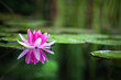 canvas print picture - Pink waterlily