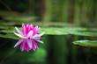 Leinwanddruck Bild - Pink waterlily