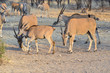 Eland antelopes (Taurotragus oryx)