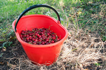 Bucket of juicy cherries.