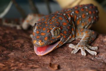 gecko tokay - amenazando