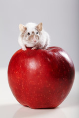 little funny mouse on big red apple