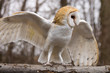 Barn Owl on a Branch