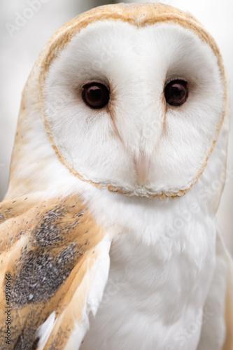Fotobehang Uil Barn Owl Portrait
