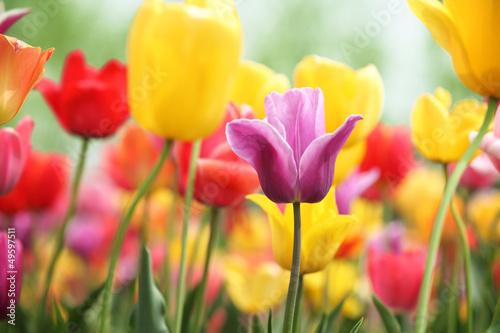 Fototapety, obrazy : tulips