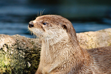 Otter looking to the left