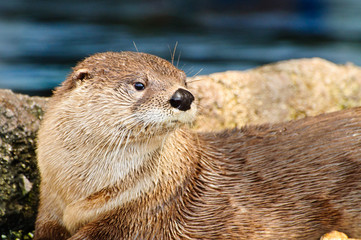 Otter looking to the right