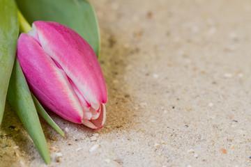 Tulpe auf Sand