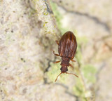 Stephostethus lardarius, a Scavenger beetle, on wood poster