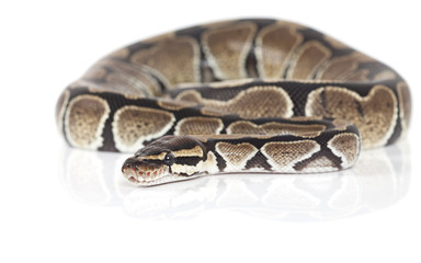 Royal Python snake in studio