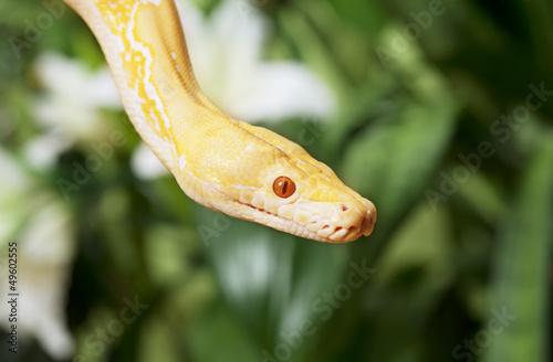 Lavender Tiger Albino Python closeup