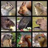 Nine mosaic photos of rodents poster
