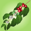 Coffee tree branch with flowers and berries