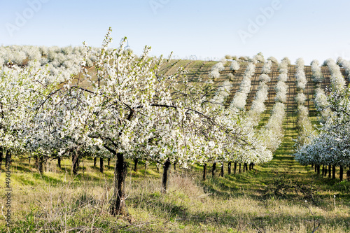 blooming orchard in spring, Czech Republic