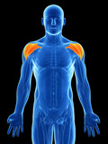3d rendered illustration - shoulder muscles
