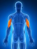 3d rendered illustration - triceps poster