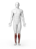 3d rendered illustration - lower leg muscles