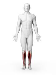 3d rendered illustration - lower leg muscles