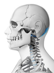 3d rendered illustration - occipital bone