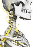 3d rendered illustration - nerves and skeleton