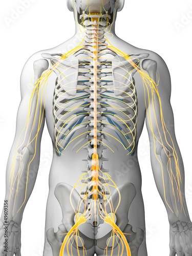 3d rendered illustration - male nerve system