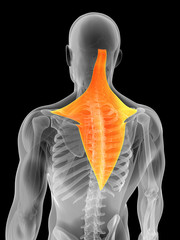3d rendered illustration - trapezius muscle