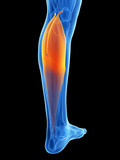 3d rendered illustration - gastrocnemius