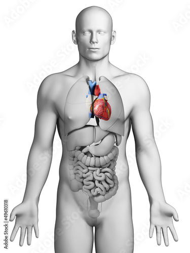 3d rendered illustration - male heart
