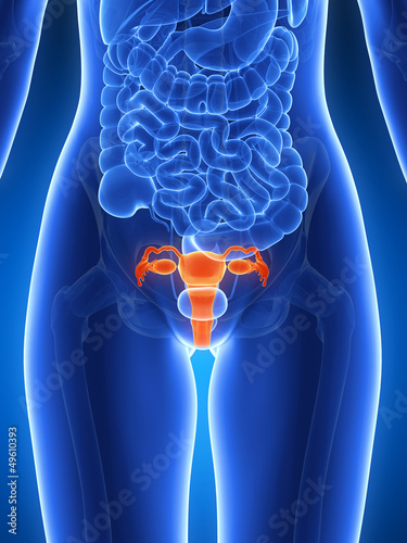 3d rendered illustration - uterus