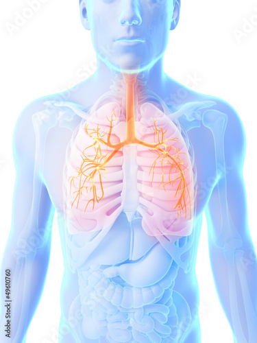3d rendered illustration - male lung