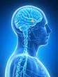 3d rendered illustration - hypothalamus